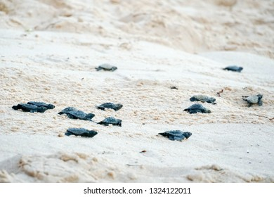 Baby turtles doing their first steps to the ocean. Praia Do Forte, Bahia, Brazil. Little Sea Turtle Cub, Crawls along the Sandy shore in the direction of the ocean to Survive, Hatched, New Life.
