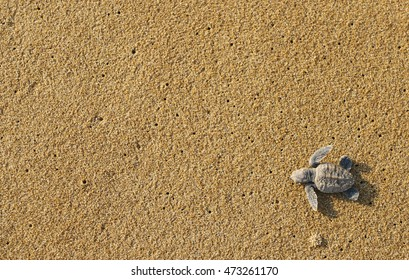 Baby turtles (Hawksbill sea turtle) popped out of the sand and waddled toward the ocean.