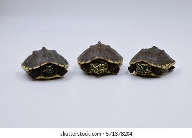 baby turtles with soft focus on white background