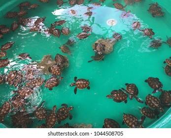 Baby Turtles, Tranquility Island, Efate, Vanuatu.