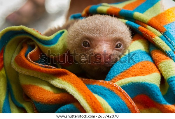 Baby Two Toed sloth wrapped in a colorful blanket