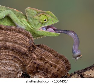 A baby veiled chameleon is picking up a fly with his tongue.
