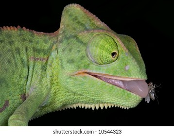 A baby veiled chameleon is withdrawing his tongue after catching a fly.