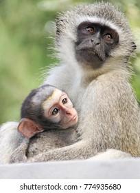 Baby vervet monkeys on the KwaZulu Natal North Coast near Durban, South Africa.
