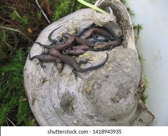 Baby viviparous lizards (Zootoca vivipara) on polypore