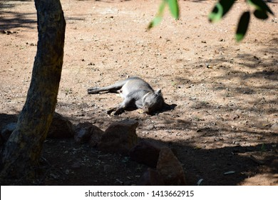 Baby Warthog sleeping in the sunny dust patch in Leeupoort nature reserve, Limpopo, South Africa