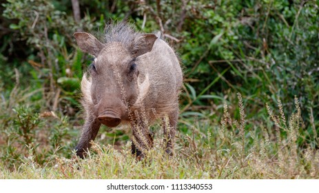 Baby warthog standing and staring at you in the field
