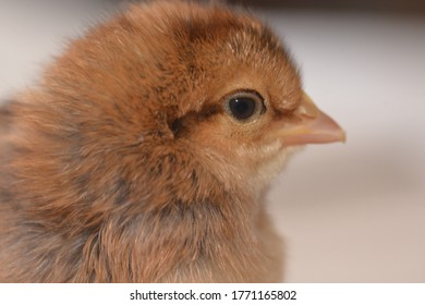 A baby welsummer chick standing on its own