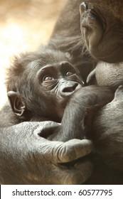 Baby western lowland gorilla milking