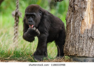 A baby western lowland gorilla plays in his enclosure
