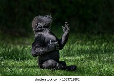 Baby Western Lowland Gorilla Practicing Chest Pound