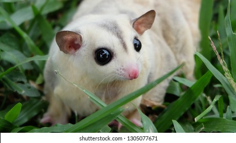 A baby white face sugar glider is running and finding her food on land of grasses