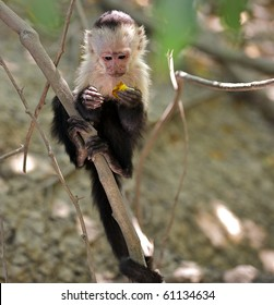 Baby white faced capuchin monkey (Cebus apella) grasping onto a branch.