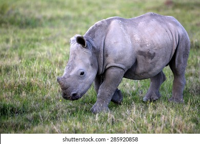 A baby white rhino / rhinoceros walking past. South Africa