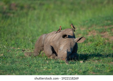 A baby White Rhino seen on a safari in South Africa