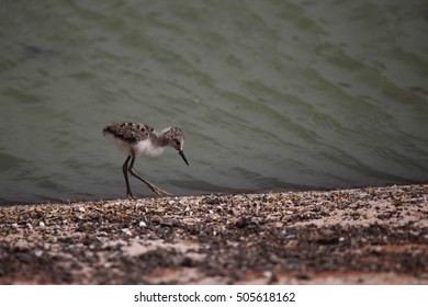 A baby White-headed Stilt chick takes its first steps near the water's edge.