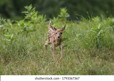 Baby White-Tailed Deer fawn walks through tall grass field with Milkweed on a summer afternoon center for copy space