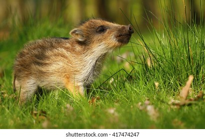 Baby wild boar sniffing
