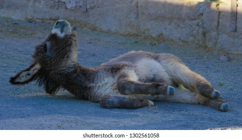 Baby wild burro lays down to sleep in Oatman, Arizona along Route 66