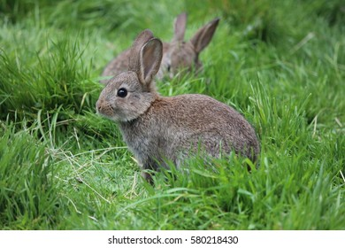 Baby Wild Rabbit, Natural Setting