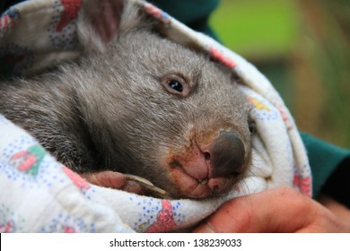Baby wombat in the arms of a carer (close-up)