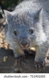 A baby wombat looks winningly at the camera.