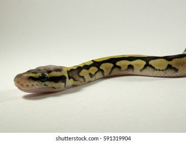 A baby yellow and black coloured Royal / Ball Python  gliding against a white background
