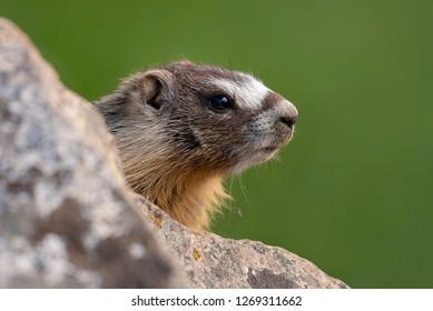 A baby Yellow-bellied Marmot looking out from behind a rock. Northern Utah.