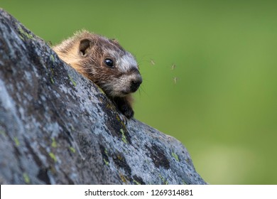 A baby Yellow-bellied Marmot peering out from behind a rock in northern Utah.