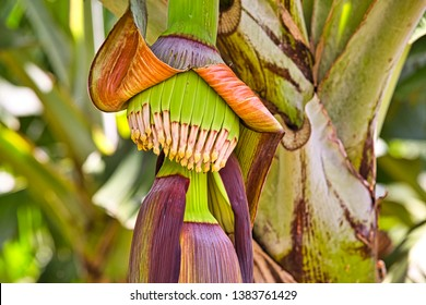 baby or young banana on banana tree in close up shoot.banana flower. Martinique