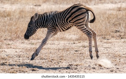 Baby Zebra jumping in Kruger National Park , South Africa