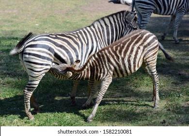 Baby zebra milking from her mum