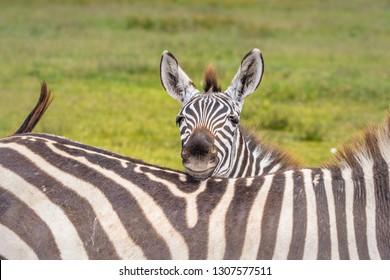 Baby Zebra peering over Mom