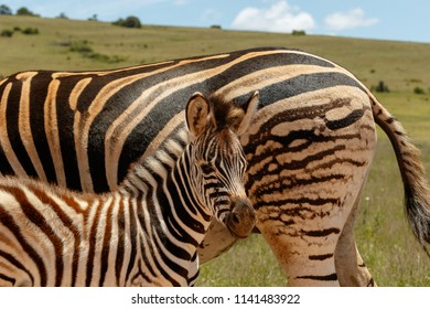 Baby Zebra standing close to his mother in the field