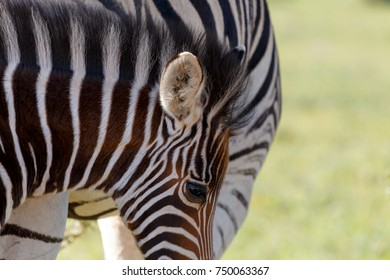 Baby Zebra standing next to his mom in the field.