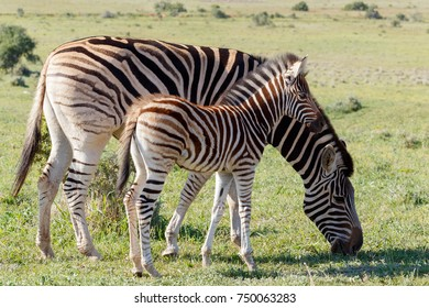 Baby Zebra standing and watching his mom eating grass.