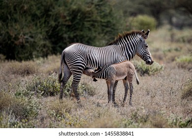 Baby Zebra stops to nurse with its mother in Kenya