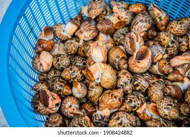 Babylonia areolata from Thailand seafood, Sweet shellfish.