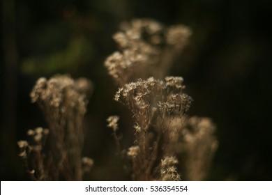 baby's breath, dry flowers, wild flowers