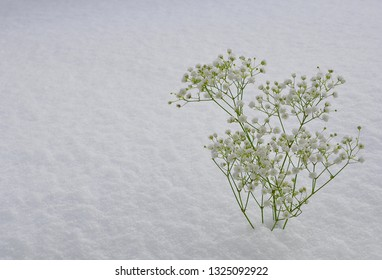 Baby's breath flowers in a snowy ground backgrounds
