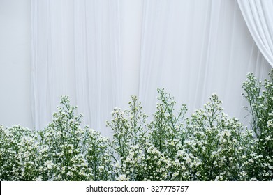 Baby's breath (gypsophilia paniculata) with white curtain background