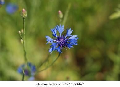 Bachelor's Button, Bluebottle, Cornflower, Garden Cornflower - Centaurea cyanus, isolated, on a green grass background
