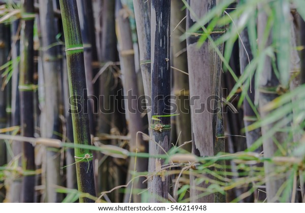 Back Bamboo Bamboo Species That Rare Stock Photo Edit Now 546214948