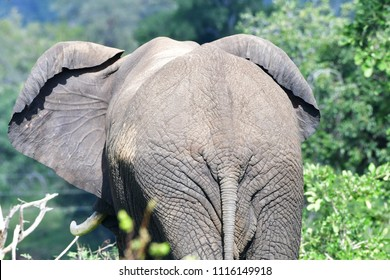 back of big elephant,Kruger national park,South Africa