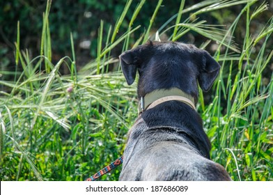 Back of black dog looking out in a green meadow
