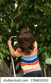 Back of child boy standing on scale in tree and picking cherries