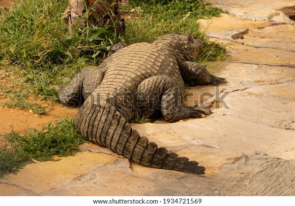 back-crocodile-zoo-saudi-arabia-600w-193