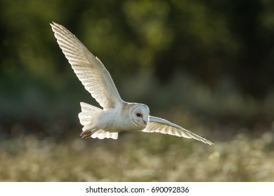Back lit Barn owl in flight over English wild flower meadow with green foliage in the background.