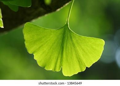 Back lit ginkgo leaf, oldest living tree species.