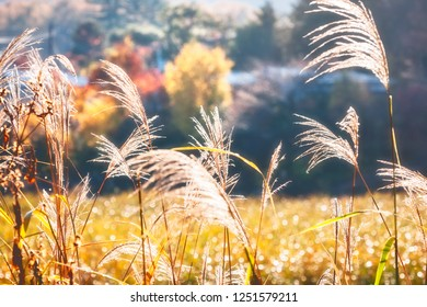 Back lit grasses in depth of field in a magical setting on autumn trees background in Fujikawaguchiko, Japan.